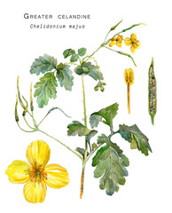 Botanical illustration of a medicinal plant Greater celandine (Chelidonium majus, nipplewort or swallowwort, tetterwort ). Watercolor painting.