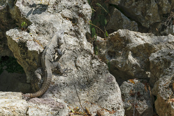 Iguana on the Rock in Mexico