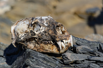 Polar bear's scull