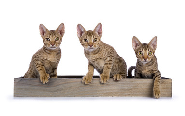 Three Ocicat kittens sitting in a wooden tray facing camera isolated on white background