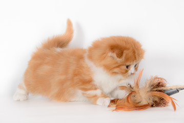 Red-haired white lop-eared kitten  with toy
