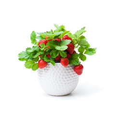 Strawberry  plant with berries in small pot isolated on white. Concept of huge harvest.