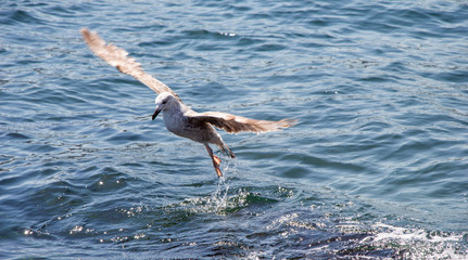 Single seagull flying over sea