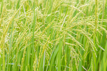 Abstract background, beautiful rice in the field.