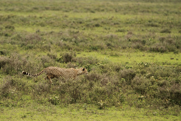 Cheetah in Serengeti