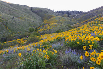 Spring flowers in Wenatchee foothills Fotobehang