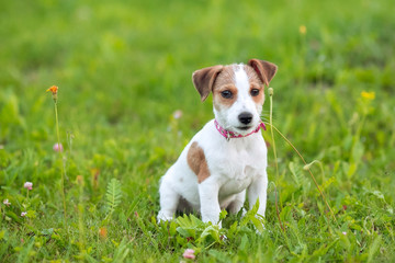 Puppy Jack Russle Terrier in the grass
