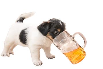 Hunde Welpe trink heimlich Bier - Jack Russell Terrier 4,5 Wochen alt