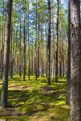 The sun is in the forest. Bright green moss. Shadow of the trees on the moss. Summer, Beautiful forest. Forest landscape. Straight trees, pine trees.