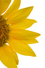 Sunflower closeup isolated on white background