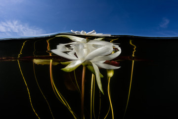Fototapete - Lily Flower in Freshwater Lake on Cape Cod
