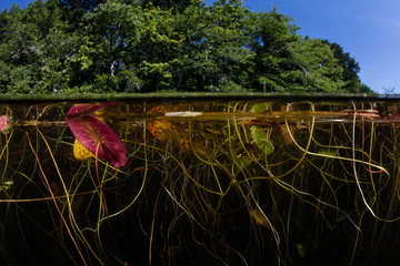 Wall Mural - Lily Pads Grow on Edge of Lake in Cape Cod