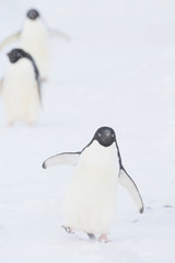 Adelie Penguin (Pygoscelis adeliae) marching in the snow during a storm, Brown Bluff, Antarctica.