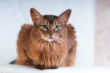 Somali cat ruddy color portrait