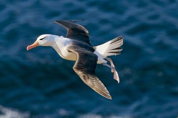 Black Browed Albatross (Thalassarche melanofris), Falkland Islands, South Atlantic Ocean