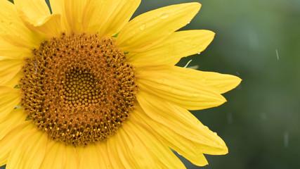 Sonnenblumen im Regen - Regen und Wassertropfen