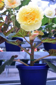 球根ベゴニア鉢植え 黄色の花