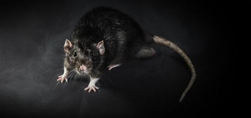 Animal gray rat close-up