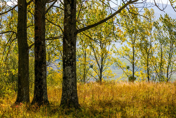 autumn forest in yellow foliage