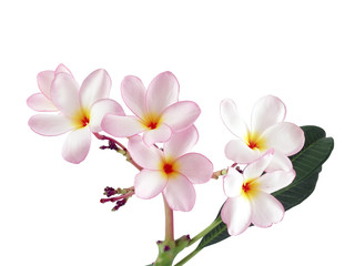 close up pink plumeria or frangipani flower isolated on white background, tropical flowers bloom summer