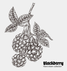 Sketchy blackberry branch. Hand drawn berries collection. Vector illustration vintage