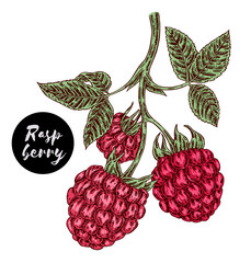 Hand drawn color sketch berries. Ripe raspberry branch isolated on white. Vector illustration vintage