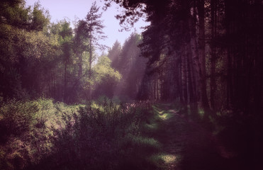 Sun's Rays In The Morning Forest