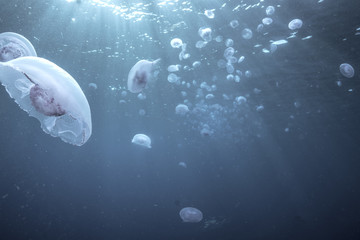 Quallenschwarm unterwasser, Rotes Meer