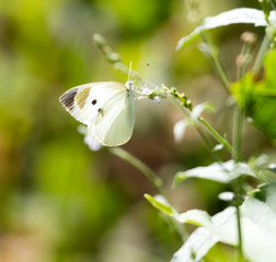 White butterfly on a plant in nature
