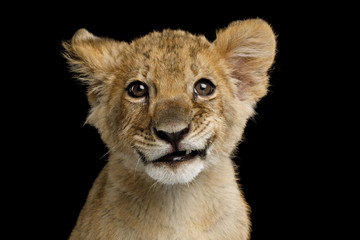 Portrait of Lion Cub with Grin Isolated on Black Background, front view