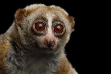 Close-up Portrait of Lemur Slow Loris Stare Isolated Black background