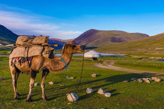 Kamel vor Ger Jurte in der Mongolei