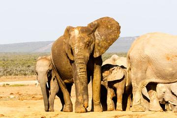 Elephant raising his big ear in the air