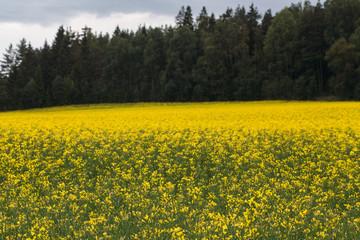 Beautiful spring rape field Germany