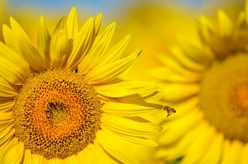 przepiękne toksańskie słoneczniki