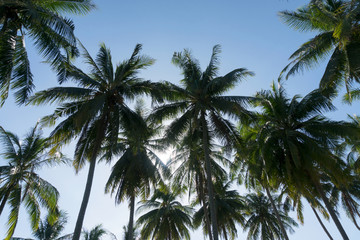 branches of coconut palms trees against blue sky ,for summer background and design.