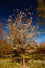 A white cherry blossom tree against deep blue background during spring time