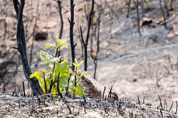 New scrub oak emerging from ash of a forest fire