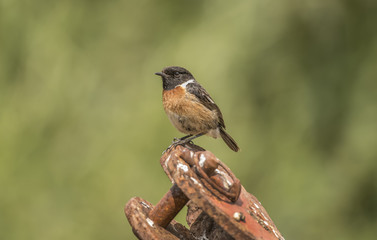 Stonechat, male, perched on a rusty bit of machinery, close up