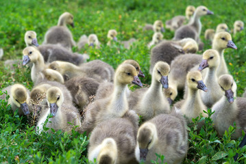 Young geese stand in green grass