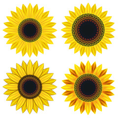 Set of bright yellow sunflower