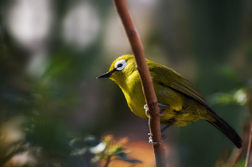 Silvereye small bird (Zosterops Lateralis), also known as Wax-Eye or Oriental White-Eye