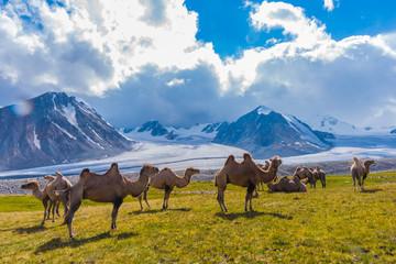 Kamelherde am Potanin Gletscher Mongolei