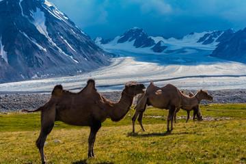 Gletscher und Kamele Mongolei, Gegenlicht
