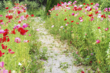 A path of red poppies in the summer garden