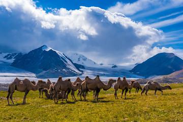 Kamelherde im Gegenlicht, Tavan Bogd, Mongolei