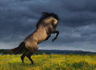 Wall Mural - Purebred Andalusian horse rear on meadow with dramatic overcast skies