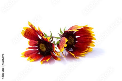 Kokardenblumen Papageienblumen Malerblumen rot gelb schwarz Blume ...