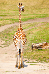 Back view of a giraffe in savanna, Africa.