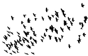 flock of birds black birds flying against a white sky in the distance isolated